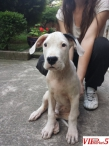 Kuche Dogo Argentino