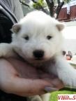Се продават мали кученца од расата Сибирски Самојед