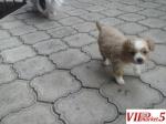 Подарувам кученца од мала раса