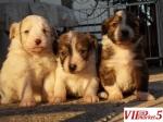Се подаруваат кученца
