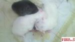 rezervacija na persiski macinja