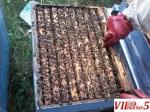 Pcheli, Pcelni semejstva, rojcinja, roevi