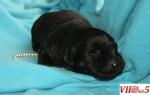 Prodavam Labradori