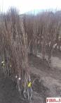 Овошни садници